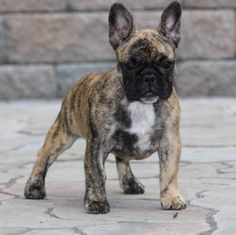 This is the coolest Frenchie puppy I've seen! She looks like a tiger!