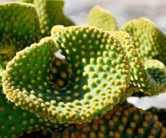 The holiday season can have even the most calm and collected of us feeling a little frazzled, a little crazed…like crazy bunny ears cactus here, a monster form of Opuntia microdasys that we adore just the same.