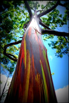 Rainbow Eucalyptus trees in Kauai, Hawaii. This plant is beautiful and grows well in central Florida. I planted one 5 ft tall 5 years ago and now it is       now 40 ft tall! It is also self pruning!
