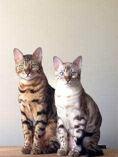 My baby bengal cats
