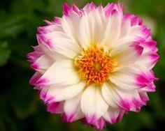 Pink-edged Dahlia