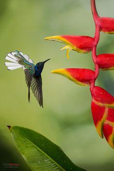 White-Necked Jacobin, Chris Jimenez #hummingbird