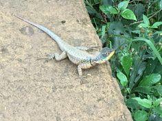Lizard at Iguacu