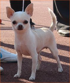 Image Detail for - ACTION ALET - chihuahua