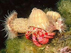 national geographic hermit crab - Google Search