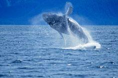 whale watching on Alaskan cruise