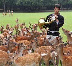 「なつの鹿寄せ」始まる 奈良、初の試み