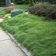 we like this grass as a ground cover Carex pennsylvanica is a remarkable deer proof, drought tolerant groundcover for shade and a suitable lawn replacement with low maintainance needs!