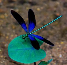 Dragonfly~ I think this is a blue damselfly Blue Dragonfly, Dragonfly Tattoo, Dragonfly Photos, Dragonfly Insect, Dragonfly Jewelry, Beautiful Creatures, Animals Beautiful, Cute Animals, Beautiful Bugs