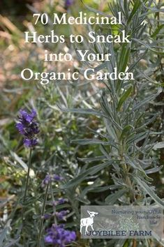 By growing herbs yourself, in your own garden, you get the freshest, most potent medicinal herbs. But how do you fit medicinal herbs into your home garden plans? You don't need hundreds of acres to grow enough medicinal herbs for your family's wellness. Growing Lavender, Growing Herbs, When To Plant Lavender, Lavender In Garden, Types Of Lavender Plants, Growing Tomatoes, Healing Herbs, Medicinal Plants, Health And Fitness