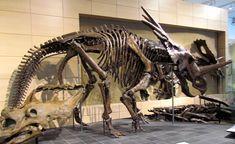 Styracosaurus albertensis skeleton and Vagaceratops irvinensis type specimen skull - Canadian Museum of Nature, Ottawa, Ontario.