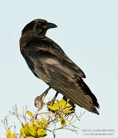 The picture of this American Crow was taken on Fort Myers Beach Florida
