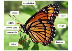 dreamskindergarten Το νηπιαγωγείο που ονειρεύομαι !: Ο κύκλος ζωής της πεταλούδας στο νηπιαγωγείο