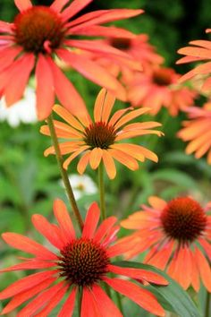 Echinacea purpurea 'Tangerine Dream'® - Sonnenhut
