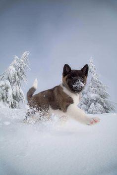 Akita pup's first snow!