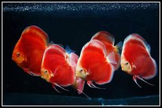 Photo gallery of Discus fish - Live Tropical Fish - Live Tropical Fish Discus Tank, Discus Aquarium, Discus Fish, Freshwater Aquarium Fish, Aquarium Fish Tank, Aquarium Ideas, Fish Tanks, Fish Gallery, Angel Fish
