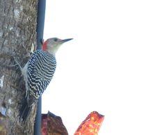Bird Photos, Birding Sites, Bird Information: RED-BELLIED WOODPECKER, NAPLES BOTANICAL GARDEN, N...