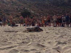 La tartaruga Caretta Caretta torna a deporre all