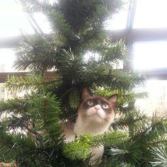 #Catmaniac  Leela, the grumpy cat