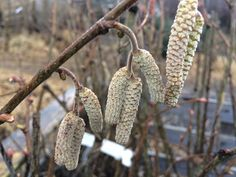 I love seeing the Catkins appear on the Cobnuts as the plants and trees are starting to show signs of life again