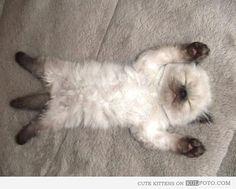 (sleeping Siamese kitten @Kate Oborn - does look like a Persian, has 9 points (Cool Breeze) xx