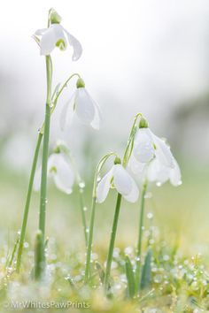 Snowdrops at The Garden House by Dianne Jayne Giles Spring Flowers, White Flowers, Beautiful Flowers, Flowers Perennials, Planting Flowers, Bloom Baby, Nature Plants, Spring Is Coming, Lily Of The Valley