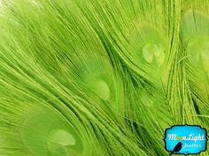 Wholesale Peacock Feathers 100 Pieces LIME by MoonlightFeatherInc
