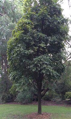 """Morton Bay Chestnut """"Castanospermum australe"""" - An Australian Rainforest Tree Morton Bay, Rainforest Plants, Australian Plants, Unique Trees, Tropical Garden, Native Plants, Water Features, Planting, Butterflies"""