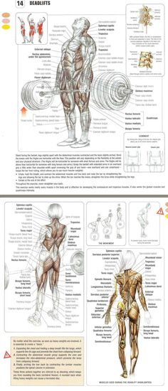 The DEADLIFT Exercise Anatomy. Why this compound exercise when performed correctly can have such a massive impact on your body composition and muscle development! www.fitnessgenes.com