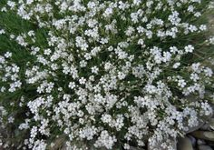 How to Grow Gypsophila Plants such as Baby's breath, Soap Root, and Gyp in the Garden. Cut Flowers, White Flowers, Baby's Breath Plant, Gypsophila Elegans, Babys Breath Flowers, Ornamental Plants, White Gardens, Front Yard Landscaping, Flower Seeds