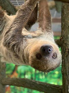 Sloths in Michigan Lewis Adventure Farm & Zoo - Sloth of The Day Zoo Map, Adventure Farm, Zoo Keeper, Sloths, Lemur, Zoo Animals, Exotic Pets, Pet Birds, Sloth