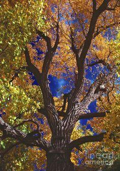 Nevada Oak...... Beautiful blue sky