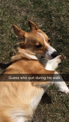 The Corgi Who Just Gave Up Mid-Walk | The 40 Most Important Corgis Of 2015