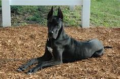 Someday I'll have a Great Dane again...may have to off the hubby though!