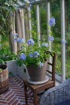 Blyblomma, en himmelsblå blomma   Zetas Trädgård Herbs Indoors, Terrace Garden, Container Plants, Green Flowers, Shade Garden, Potted Plants, Garden Inspiration, Countryside, Lush