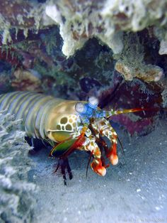 Mantis shrimp, Pemuteran