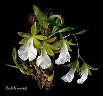 Euchile mariae. A species orchid ( color)