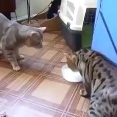 Funny Animal Jokes, Funny Cute Cats, Cute Baby Cats, Cute Little Animals, Funny Cat Videos, Cute Cats And Kittens, Cute Funny Animals, Funny Animal Pictures, Animal Humor