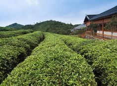 Tea plays a vital role in Hangzhou's economy and it's here they produce the world-famous Longjing (which literally translates as 'Dragon Well') green tea, one of the most expensive teas in the world.