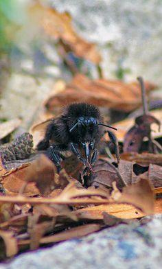 brown bumblebee