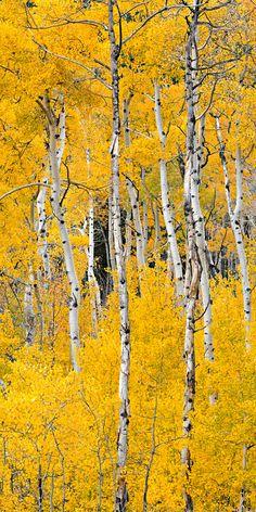 ~~Cottonwood Pass Aspens ~ Buena Vista, Colorado by Igor Menaker Fine Art Photography~~