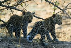 Discover Africa's most alluring big cat, the leopard, in Zambia's South Luangwa National Park. Join a day or night safari and stay at a truly rustic camp. Leopard Cub, Personalized Books, Leopards, Holiday Travel, Big Cats, Cubs, Panther, Traveling By Yourself, Safari