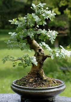 Growing bonsai from their seeds is essentially growing a tree from its seed. Get tips and guidelines on how to grow your first bonsai from its seed phase. Bonsai Tree Care, Bonsai Tree Types, Indoor Bonsai Tree, Mini Bonsai, Bonsai Plants, Bonsai Garden, Garden Trees, Garden Art, Large Bonsai Tree
