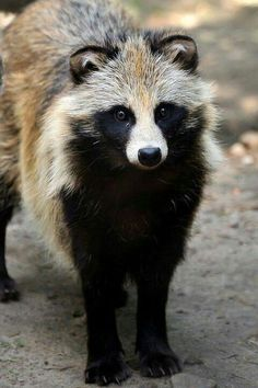 Raccoon dog / Nyctereutes procyonoides, is indigenous to East Asia. It is considered a basal canid species, resembling ancestral forms of the family. Among the Canidae, the raccoon dog shares the habit of regularly climbing trees only with the North American gray fox, another basal species.