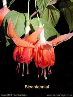 Fuchsia BICENTENNIAL - Double Pale Orange with Red stripes - Trailing Rare Flowers, Flowers Nature, Exotic Flowers, Tropical Flowers, Amazing Flowers, Beautiful Flowers, Beautiful Gardens, Fuchsia Plant, Fuchsia Flower