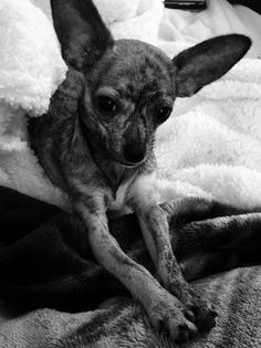 Abril Brindle Baby Is An Adoptable Chihuahua Dog In