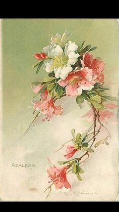 Azaleas: by artist Catherine Klein. Catherine Klein, Botanical Illustration, Botanical Prints, Floral Prints, Watercolor Flowers, Watercolor Paintings, Tattoo Watercolor, Images Victoriennes, China Painting