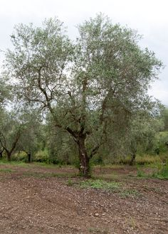 fiels and olives tree
