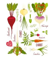 Root vegetables with greens signs and symbols vector. Nature gardening designs by Popmarleo on VectorStock®