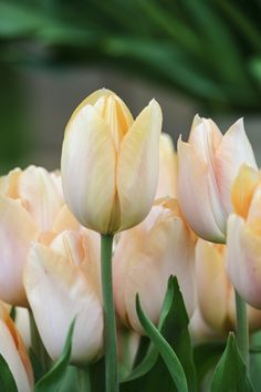 Bulbs for scent: Tulipa 'Apricot Beauty'. Photo by Jason Ingram.